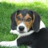 Μπιγκλ – Σκυλιά Beagle