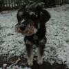Μίνι Σνάουτσερ – Σκυλιά Mini Schnauzer