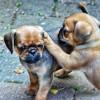 Παγκ – Σκυλιά Pug