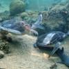 Χελώνα Καρετα Καρετα