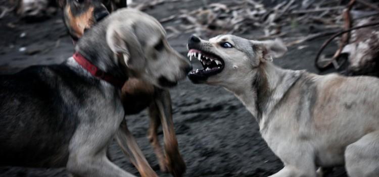 Τα 10 πιο Επικίνδυνα Σκυλιά στον Κόσμο