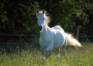 αραβικα-αλογα