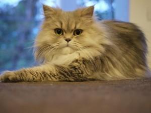γατες-περσιας