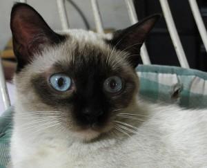γατες-σιαμ