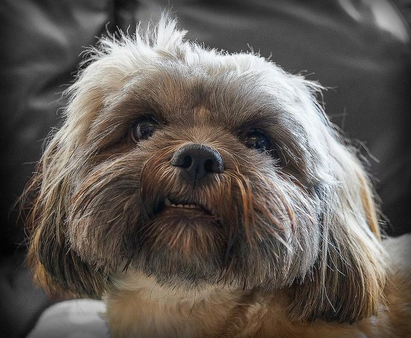 ασιατικα-σκυλια-1