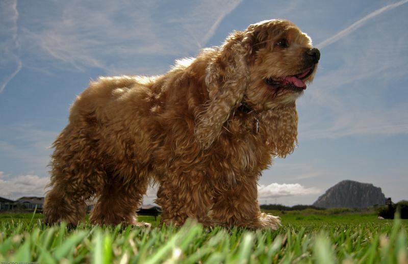 κοκερ-σπανιελ-σκυλια-1
