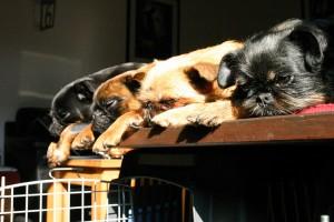 μικροσωμα-σκυλια