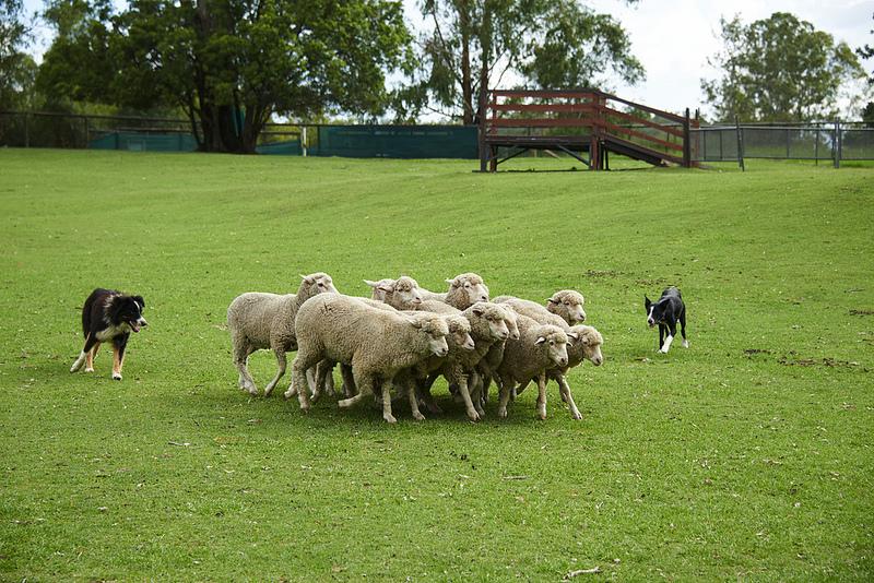 ποιμενικοι-σκυλοι-1