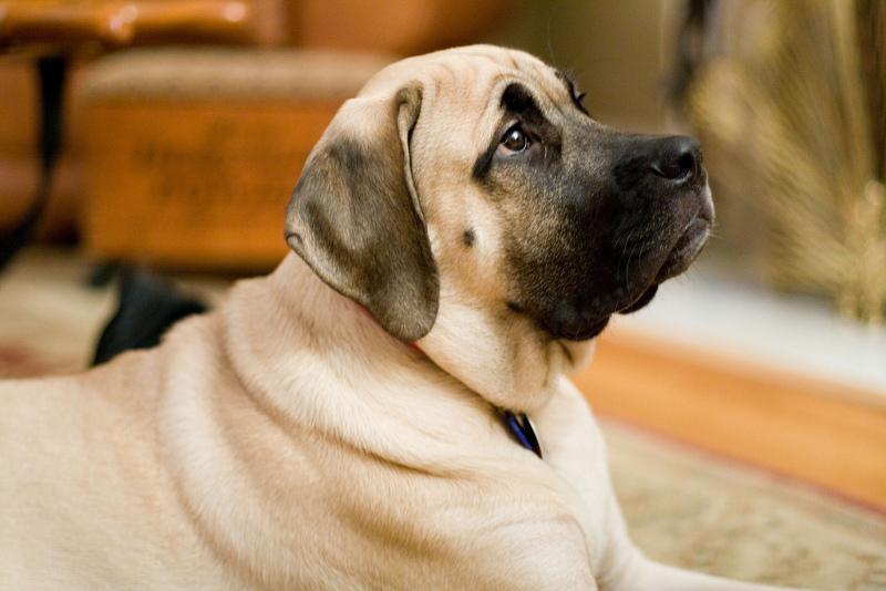 σκυλιά-μαστιφ