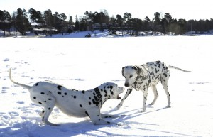 σκυλια-δαλματίας