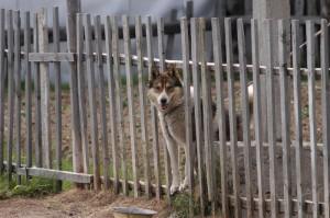 σκυλοι-φυλακες