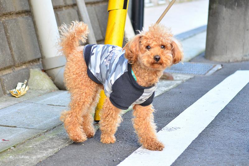 κανις-σκυλια-poodle-1