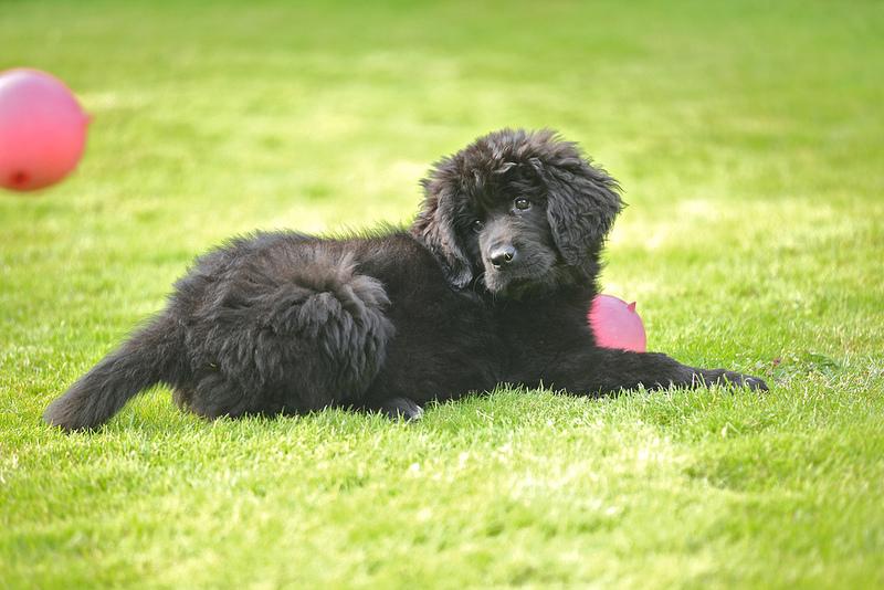νιουφάουντλαντ-σκυλια-1