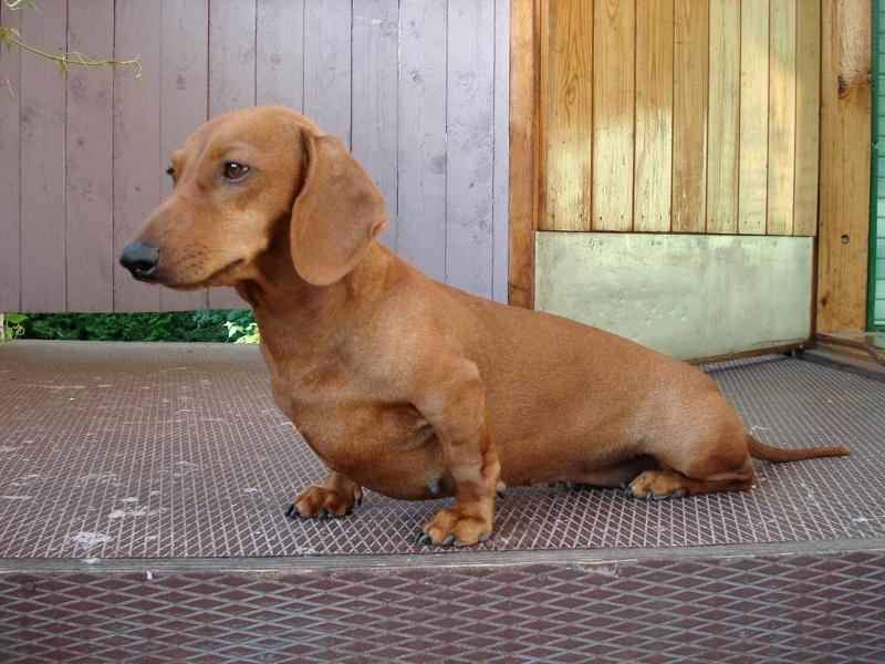 νταξχουντ-σκυλια-daschund-1