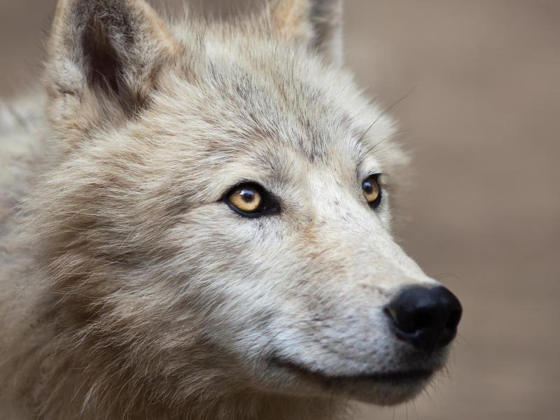 ζώα-υπό-εξαφάνιση-1-αρκτικός-λύκος