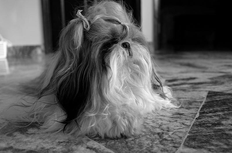 σιχ-τζου-σκυλια-1