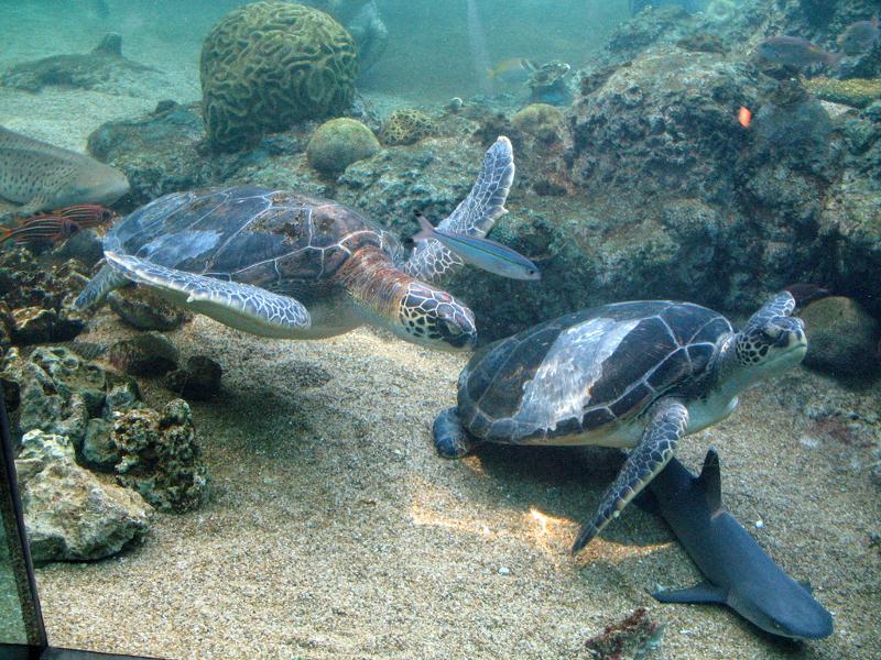 χελώνα-καρετα-καρετα-1